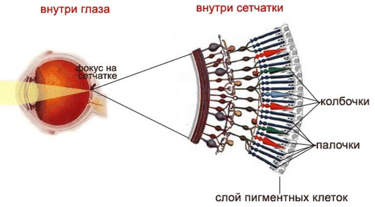 Глаз и сетчатка в разрезе при гемералопии